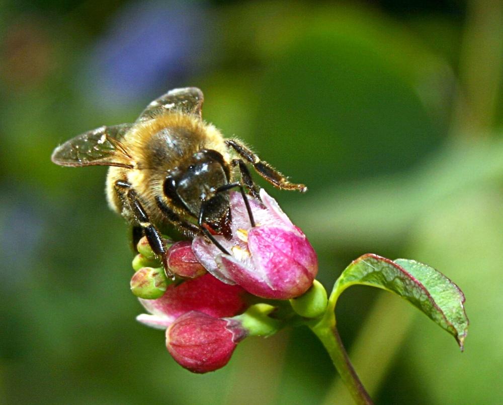 honey-bee-1-1381303